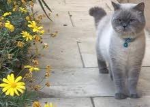 British Short Hair Cat for Sale