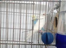 أنثى بادجي ألبينو
