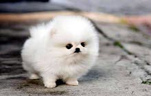 I am looking for a female pomeranian teacup around 500jod max!!!