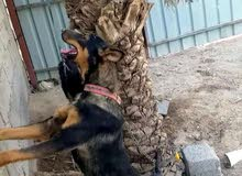 كلب نثية جيرمن