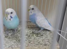 عصافير الحب جوز