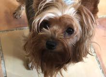 للبيع كلب يوركشير تريير أنثى أصلي مع جواز السفر وجميع التطعيمات