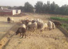 خروف العيد. للبيع خرفان بلدي