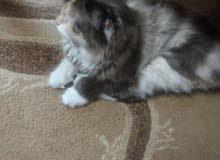 قطة مكس الشانشيلا لون مميز