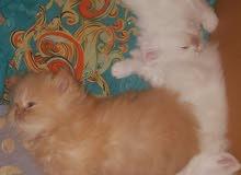 3 قطط شيرازيه