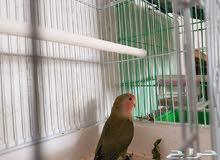 للبيع طير روز العمر 8 شهور في حالة جيدة حذر يبدأ السوم من 160ريال لن ينظر ماتحته
