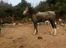 حصان ازرق كفاله حراث ركوب