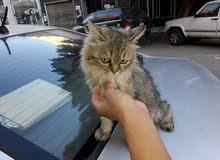 قطة نوع سيامي