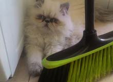 قط شيرازي جميل جدا للبيع