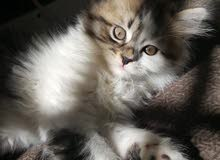Vaccinated female tiger Persian kitten