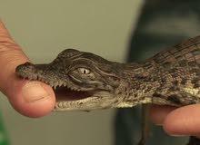 تمساح فقس عمره 14 يوم