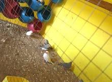 يوجد عصفير جنه اجواز شغالات للبدل ع طيور حب او كنار او كوكتيل