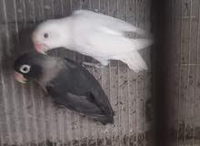 مطلوب طيور الفيشار