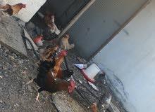 دجاج عماني بياض للبيع