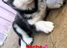 كلب هاسكي بيور 4 اشهر انثى