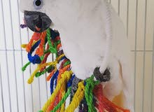 Umbrella Cockatoo (With 500 AED Cage Free)