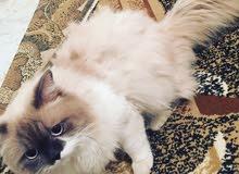 قط فارسي دكر عمر سنه