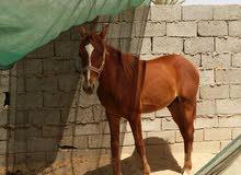 المدينه المنوره المندسه حصان للبيع