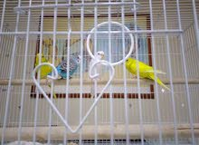 Budgies and lovebirds for sale