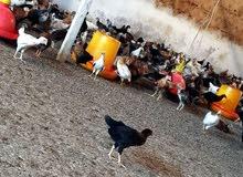 دجاج  عماني    وبيض مخصب