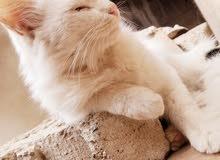 قطه انجورا تركي نقي و تحب العب جدا