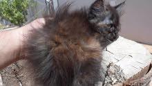قطة من نوع شنشيلا