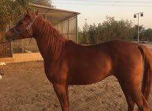 حصان جمال جواز واهو للبيع