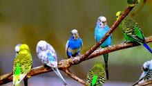 عصافير استرالي شغالين ب 30ج الواحد
