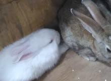 للبيع أرانب بلدية نظيفه و أليفه بسعر ممتاز