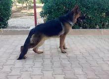كلب الماني كستم للبيع
