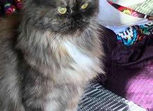 قط الشيرازي و هملايا مع 3قطط صغيرة عمر شهر فقط