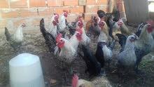 دجاج وفراريج فيومي
