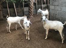 جداية إثيوبية تربيه شهر للبيع