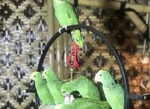 يمكننا توفير جميع انواع الطيور و البغبغاوات