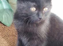 قطه روسيه عمرها شهر للبيع