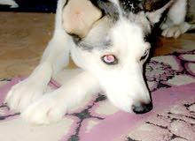 كلب هاسكي اليف مدرب العمر 7شهور قابل للبدل وللبيع