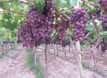 للاثرياء مزرعة ضخمة مثمرة 200فدان عالطريق الصحراوى مباشرة