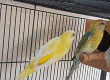 parakeet available for exchange with yellow ring neck chick or blue voilet color