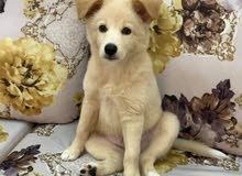 golden husky mix golden retriever  and husky