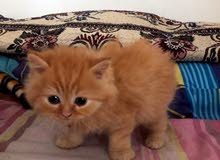 2 months old Persian