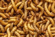 دود القبابي mealworms
