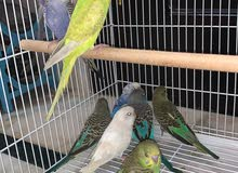 for sale Budgies 6-8 months old they can get babies after 3 months their sound I