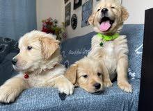 جراوي جوولدن ريتريفرز golden retriever puppies
