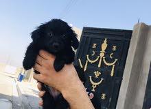 كلب تيرير نثيه عمر شهرين للبيع