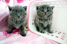Scottish fold and british short hair kittens available in dubai by German breede