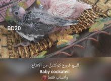 فروخ كوكتيل Baby cockatiel