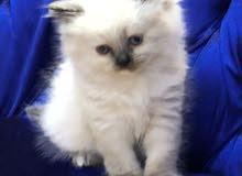 قطة النوع هملايا