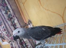 كاسكو اليف مع القفص Parrot for sale with cage 4months old