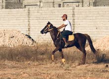 حصان اشقر للبيع