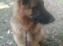 كلب ... DOG